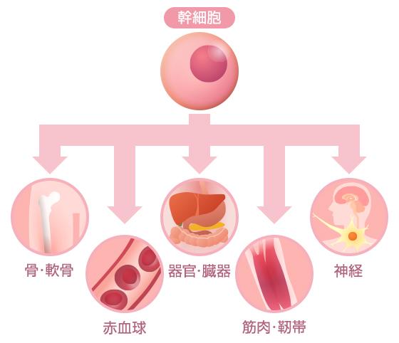 「幹細胞」の画像検索結果