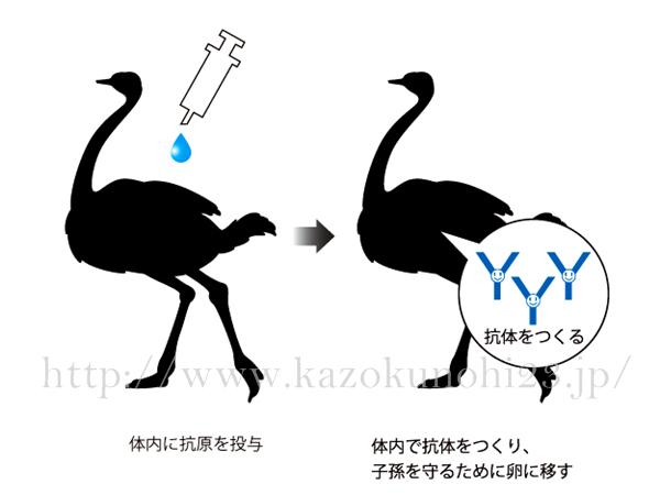 ラフィスACラインに使われているダチョウ抗体エキスができるまでを紹介している画像。
