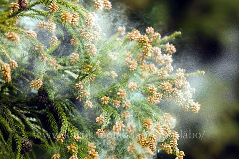 花粉症に対するプラセンタの効果