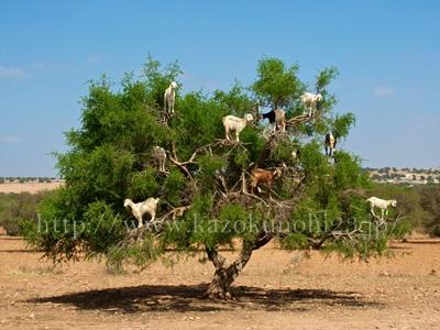 アルガンオイルはモロッコ原産のアルガンツリーになる実から取れるオイルです。
