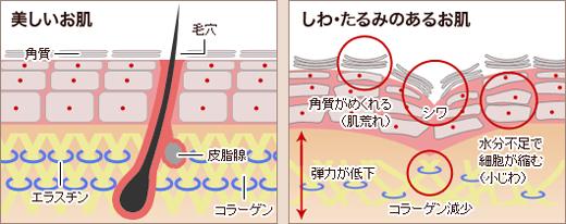 肌内部のコラーゲンの減少