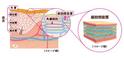 脂質と水分が何層にも重なりあう「ラメラ構造」を形成して、強力に肌内部を外部刺激からガードします。