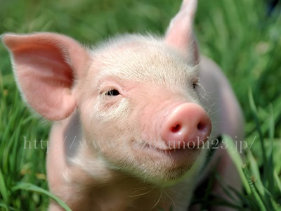 豚プラセンタは、プラセンタの安定供給に欠かせない成分です。