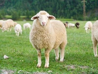 良質なアミノ酸が特徴的な羊プラセンタは、ヨーロッパなどで人気のプラセンタです。