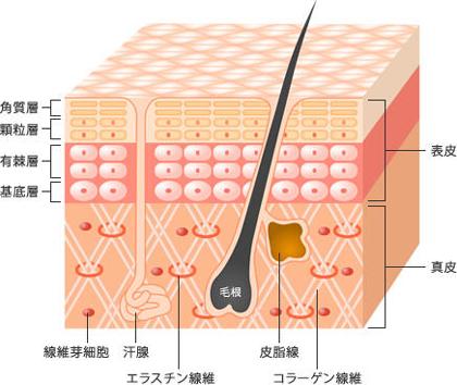 幹細胞コスメとは今までにない新発想のスキンケア
