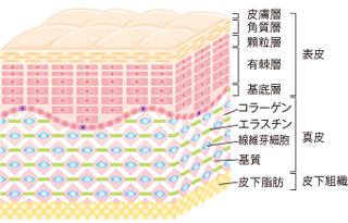 皮膚のしくみ・構造