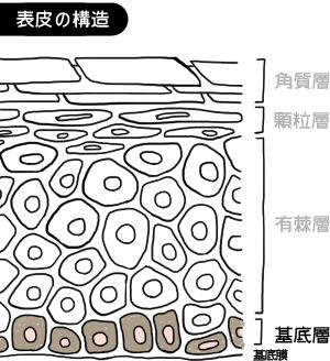基底層(胚芽層)