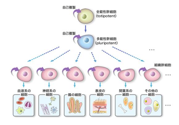 幹細胞とは『細胞を生み出す細胞』