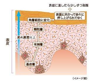 表皮の角化