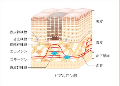 美しい肌をつくる真皮幹細胞